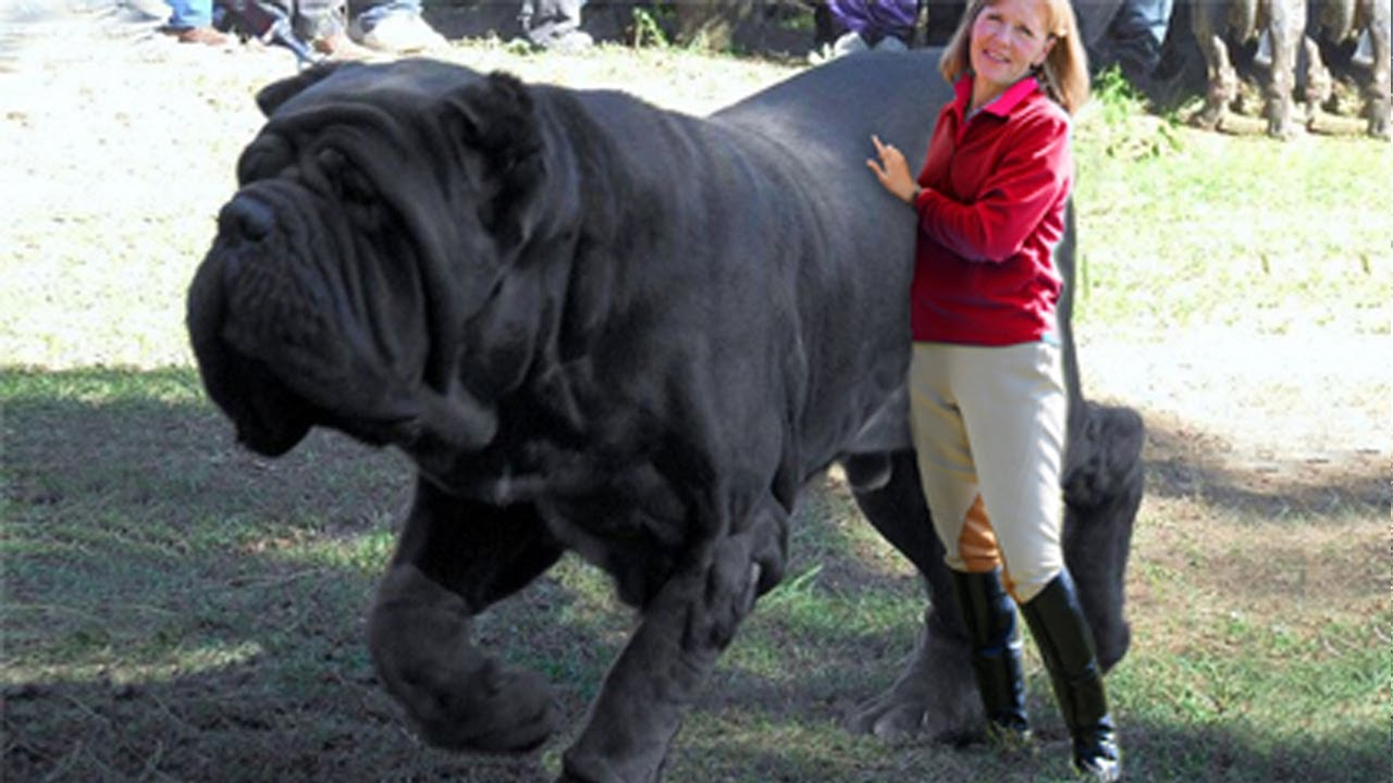 10 Biggest Dogs in the World