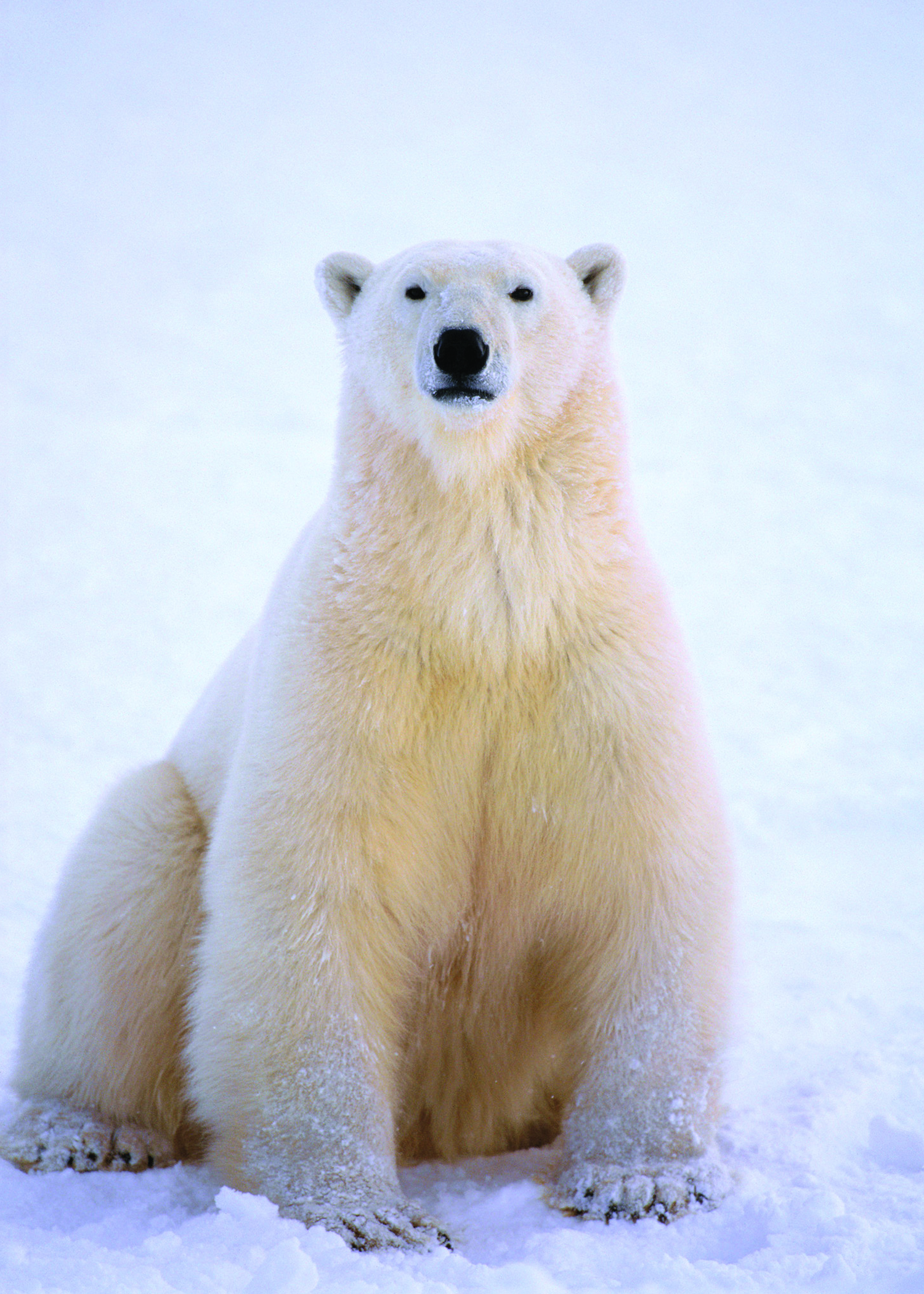 Polar Bear Fotolip Com Rich Image And Wallpaper