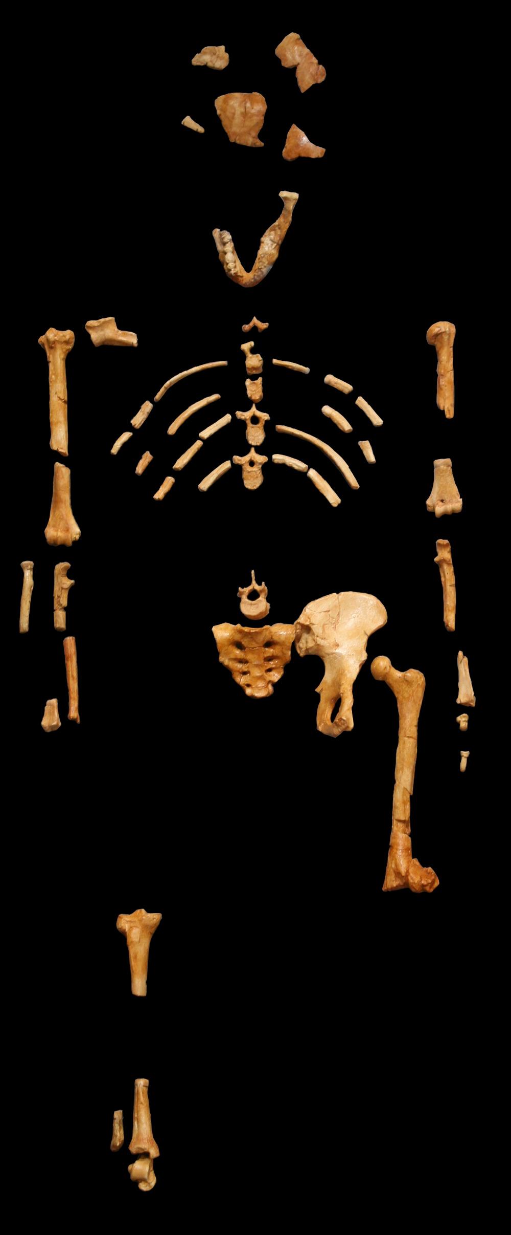 Lucy (Australopithecus)